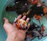 Ikan mas koki ranchu dan demekin ukuran besar - Balikpapan Kota - Hewan Peliharaan