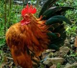 Ayam serama dan tema - Bandung Kab. - Hewan Peliharaan