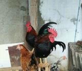 Ayam kate serama - Jakarta Barat - Hewan Peliharaan