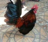 Ayam Serama Jantan - Tangerang Kota - Hewan Peliharaan