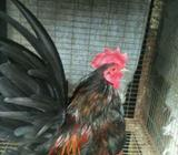 Ayam serama asli turunan dari Malaysia . - Bogor Kota - Hewan Peliharaan