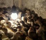 Jual bibit ayam kampung umuran 2 minggu - Depok Kota - Hewan Peliharaan