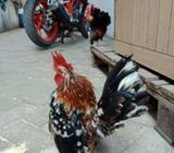 Ayam serama sepasang siap produksi lokasi kapuk jakarta barat - Jakarta Barat - Hewan Peliharaan