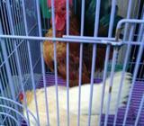 Sepasang ayam Kate serama - Jakarta Barat - Hewan Peliharaan