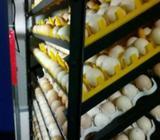Cari investor kerjasama penetasan bibit ayam kampung - Jakarta Pusat - Hewan Peliharaan