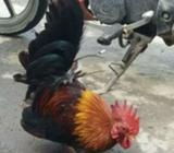 Ayam kate serama - Jakarta Utara - Hewan Peliharaan