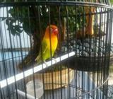 Love Bird dan Ayam Serama - Bandar Lampung Kota - Hewan Peliharaan