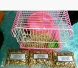 Hamster Campbell Varian Panda - Bandar Lampung Kota - Hewan Peliharaan