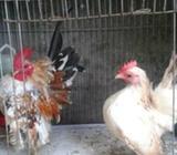 Ayam serama asli - Medan Kota - Hewan Peliharaan