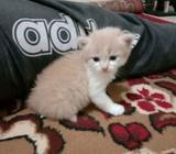 Di.jual.anak.kucing persia.medium - Bandung Kota - Hewan Peliharaan