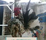 Ayam serama jantan - Bandung Kota - Hewan Peliharaan
