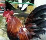 Di jual ayam serama - Bandung Kota - Hewan Peliharaan