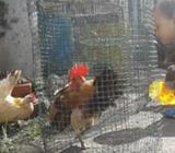 Ayam serama asli berbagai kualitas - Bekasi Kab. - Hewan Peliharaan