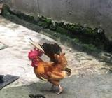 Ayam serama indukan dan anakan - Bekasi Kota - Hewan Peliharaan