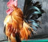 Ayam serama sepasang mantap,NEGO - Jakarta Barat - Hewan Peliharaan