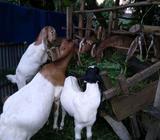 Jual kambing 7 ekor - Jambi Kota - Hewan Peliharaan