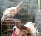 Ayam hias kalkun - Magelang Kab. - Hewan Peliharaan