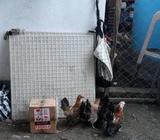 Ayam serama 3 bulan - Sidoarjo Kab. - Hewan Peliharaan