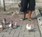 Ayam kate keturunan serama - Tangerang Kota - Hewan Peliharaan