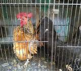 Ayam Serama sepasang - Tangerang Selatan Kota - Hewan Peliharaan