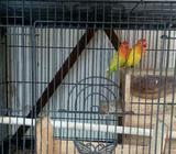 Berniaga burung love bird - Surabaya Kota - Hewan Peliharaan
