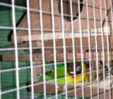Love bird semdak indukan sudah produksi - Tangerang Kota - Hewan Peliharaan