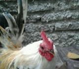 Jual ayam serama asli - Banjarbaru Kota - Hewan Peliharaan