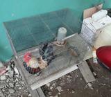 Ayam Serama/kate - Banjarbaru Kota - Hewan Peliharaan