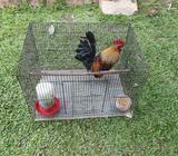 Ayam Serama/ kate - Banjarbaru Kota - Hewan Peliharaan