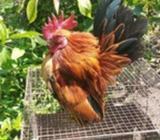 Ayam serama mumer cepat dapat - Bantul Kab. - Hewan Peliharaan