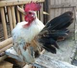 Ayam serama mumer saja - Bantul Kab. - Hewan Peliharaan