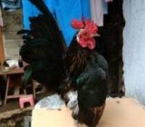 Ayam serama jantan - Banyuwangi Kab. - Hewan Peliharaan