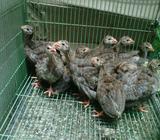 Ayam hias mutiara ori putih silver - Magelang Kab. - Hewan Peliharaan