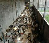 Dijual bibit ayam kampung - Pekanbaru Kota - Hewan Peliharaan