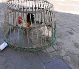 Dijual ayam kate serama - Surabaya Kota - Hewan Peliharaan