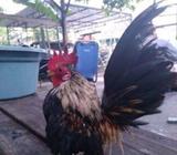 Ayam serama jantan - Surabaya Kota - Hewan Peliharaan