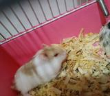 Hamster Campbell Sepasang - Bekasi Kota - Hewan Peliharaan