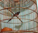 Burung si lempay aduhai + sangkar baru lagi - Bandung Kota - Hewan Peliharaan