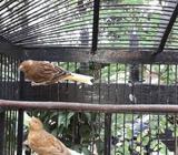Kenari anak 2-3 bulan ternak sendiri - Bandung Kota - Hewan Peliharaan