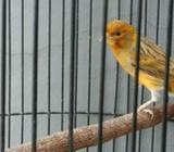 Love bird, lutino, indukan, kenari - Bekasi Kab. - Hewan Peliharaan