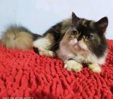 Kucing persia Calico - Jambi Kota - Hewan Peliharaan