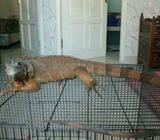 Dijual iguana merah - Gresik Kab. - Hewan Peliharaan