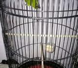 Lovebird Ijo fulsett 220 - Gresik Kab. - Hewan Peliharaan