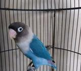 Arsip: Lovebird mangsi kekean - Gresik Kab. - Hewan Peliharaan