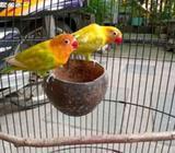 Lovebird jodohan koloni 500 - Gresik Kab. - Hewan Peliharaan