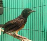 Arsip: Burung murai batu medan - Jakarta Timur - Hewan Peliharaan