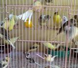 Kenari af bahan - Jakarta Utara - Hewan Peliharaan