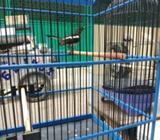 Burung karcer jawa barat - Jakarta Utara - Hewan Peliharaan