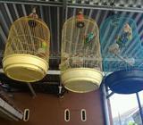 Dijual burung LB - Jambi Kota - Hewan Peliharaan