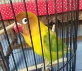 Lovebird pastel hijau malang - Malang Kota - Hewan Peliharaan